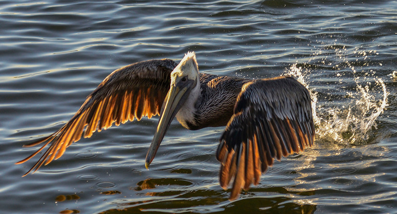 Brown Pelican in flight