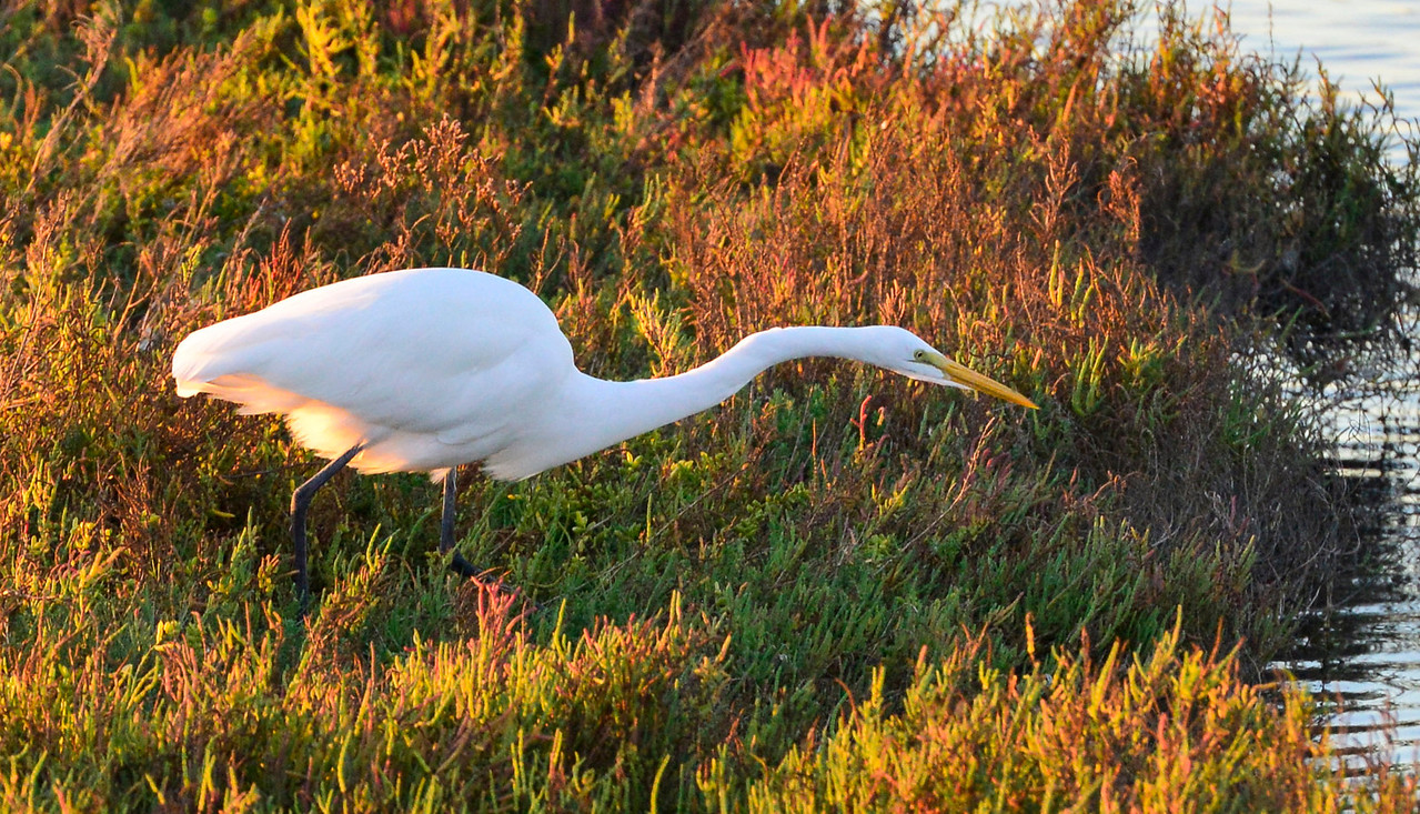 Great Egret-Fishing at Bolsa Chica