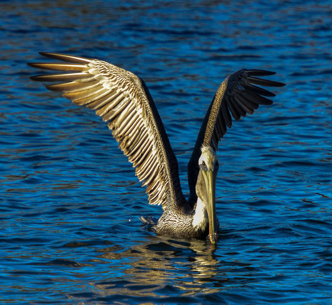 Brown Pelican ready for takeoff