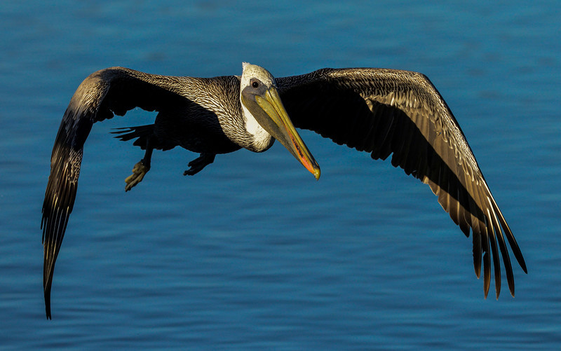 Brown Pelican in the early morning light