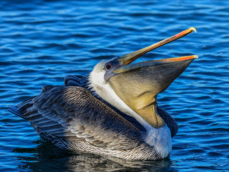 Brown Pelican swallowing a fish