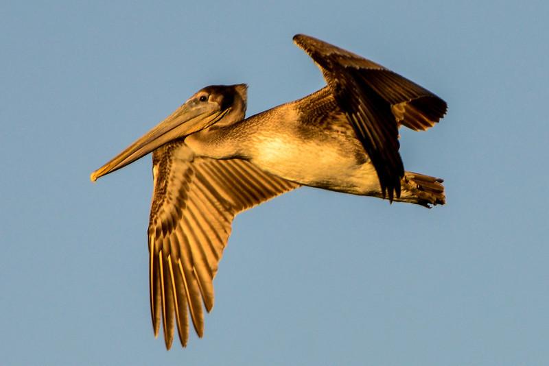 Brown Pelican at Bolsa Chica