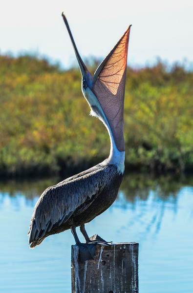 Brown Pelican waiting for food to drop from the sky