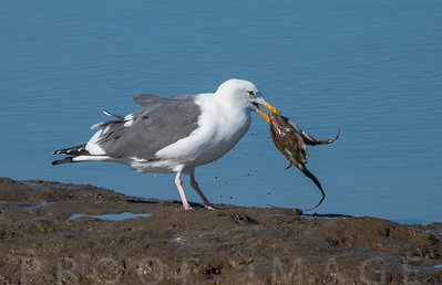 Western Gull Eating an Octopus