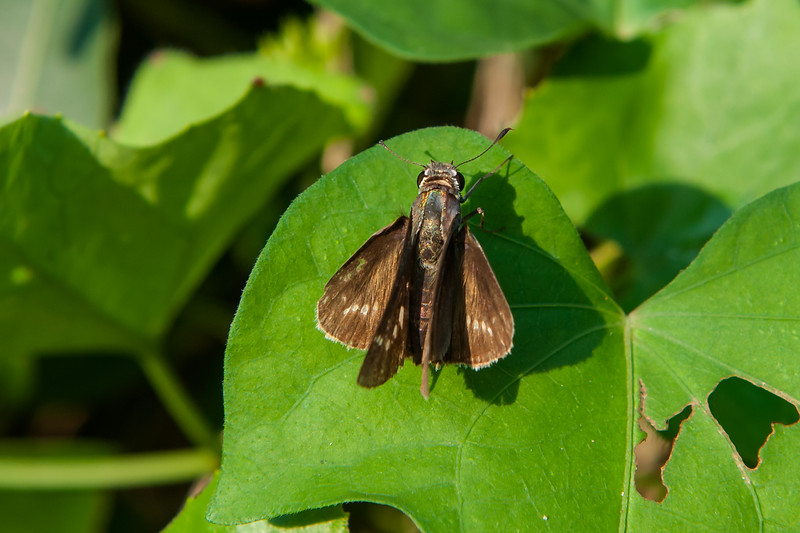 Conjoined Skipper?