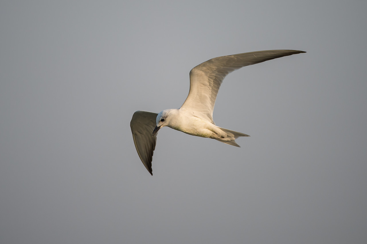 Gull-billed Tern (nbr)