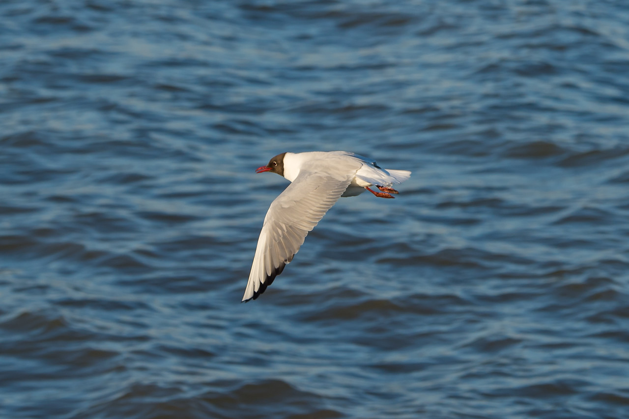 Black-headed Gull (br)