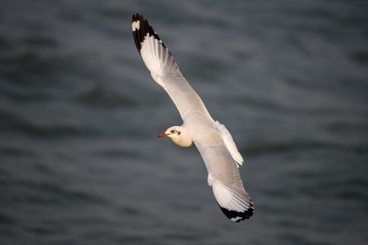 Brown-headed Gull (nbr)