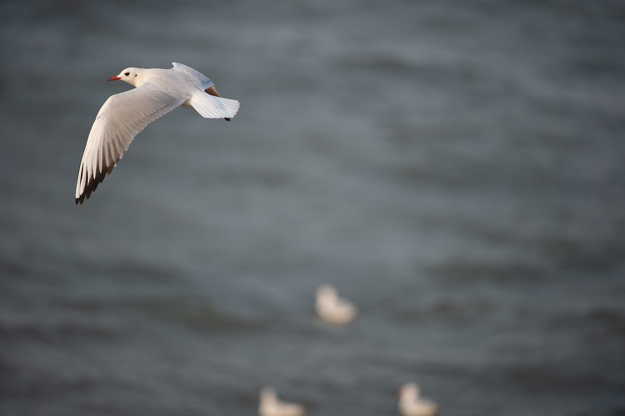 Black-headed Gull (nbr)