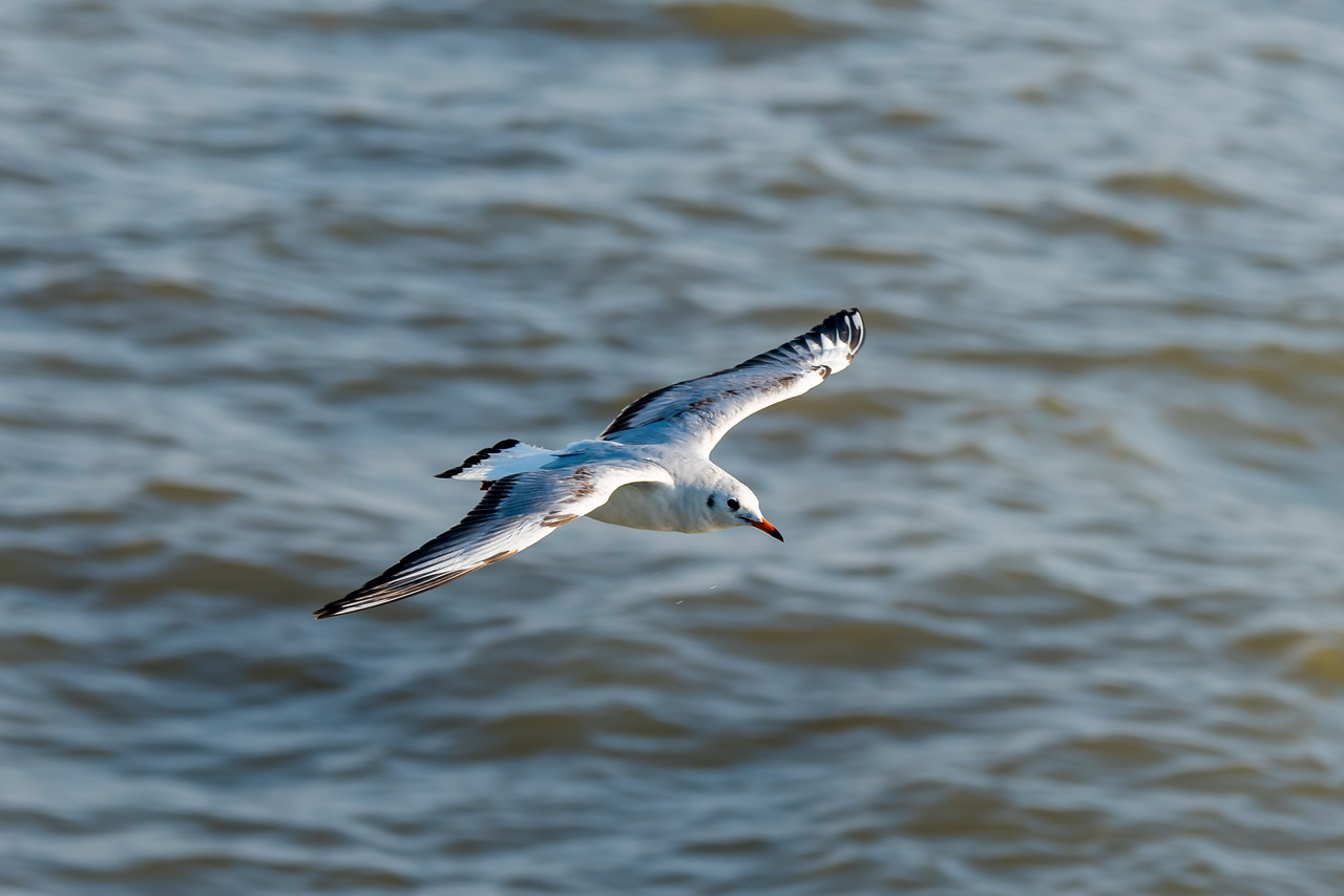 Brown-headed Gull (2nd winter)