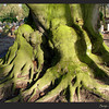 Oude beuk, begraafplaats Bossche Poort, Zaltbommel