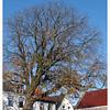 Kastanjeboom, Zwartewaal