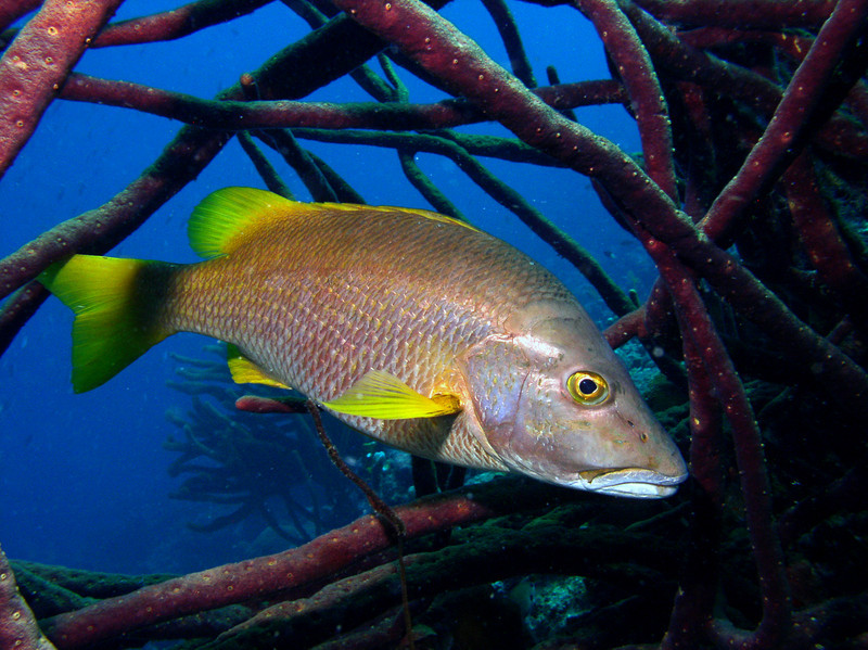 A schoolmaster snapper (Lutjanus apodus) hiding in the tangled branches of a sponge at Eden's Beach, Bonaire.