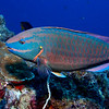 A stoplight parrotfish (Sparisoma viridae) at Invisibles, Bonaire