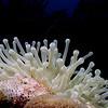 A giant anemone (Condylactis gigantea) at Monti's Divi, Klein Bonaire.