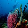 The strikingly colored azure vase sponge (Callyspongia plicifera) at Eden's Beach, Bonaire