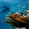 A snorkeler admiring the abundant fish hosted by a colony of elkhorn coral (Acropora palmata) at Angel City, Bonaire.