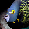 French angelfish (Pomacanthus paru) at Bari Reef, Bonaire