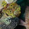 Small longlure frogfish
