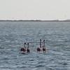 Flamingos near salt ponds