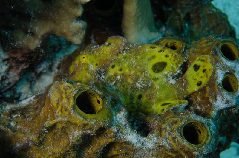 Frogfish on sponge