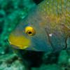 Parrotfish face