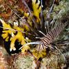 Intermediate common lionfish