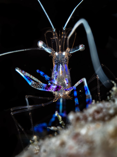 Head on with a Pederson Cleaner Shrimp