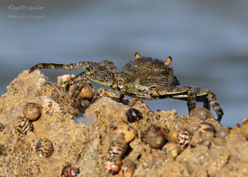 Crab at Lagun