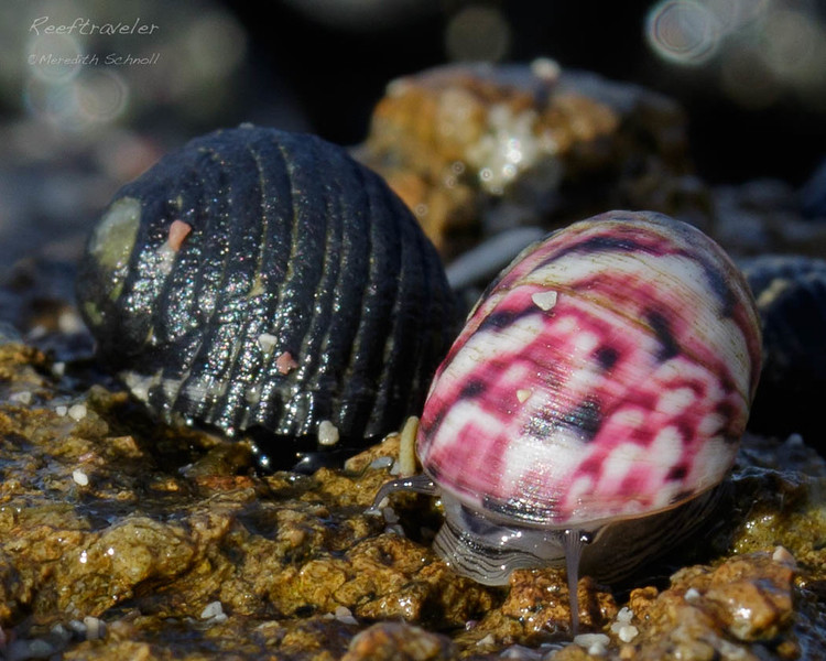 Colorful Sea Snails at Lagun
