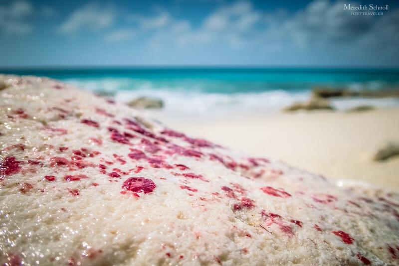 Coralline Algae Encrusted Rock at Pink Beach