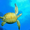 Green Sea Turtle (Chelonia mydas). Found in tropical and warm temperate seas worldwide. Listed on the IUCN Red list as Endangered species.