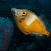 Whitespotted filefish (Cantherhines macrocerus), orange phase