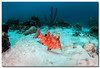 Young Hogfish