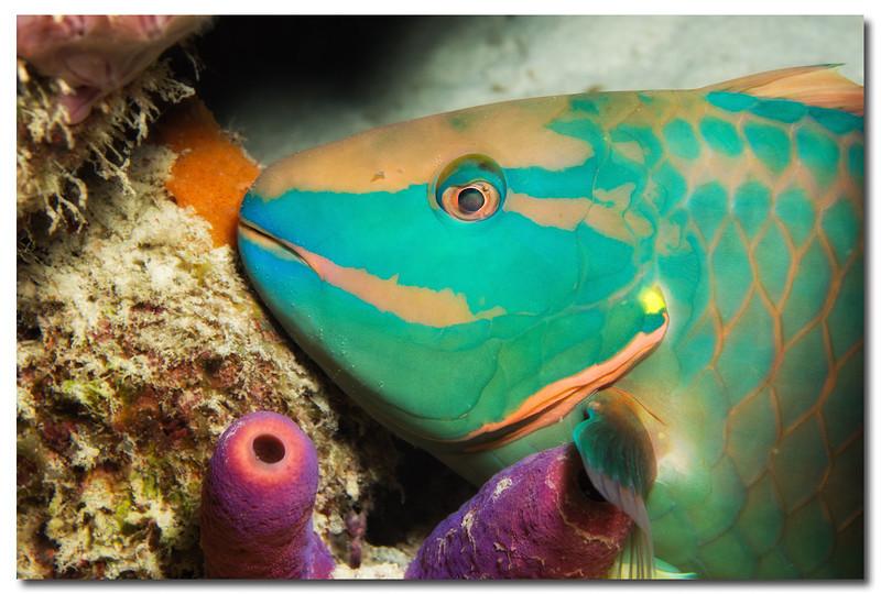 Sleeping parrotfish on night dive.