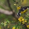 Bananaquit (Coereba flaveola) amongst flowers of a brazilwood tree (Haematoxylon brasiletto)