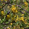 Bananaquit (Coereba flaveola) collecting nectar from the flowers of a brazilwood tree (Haematoxylon brasiletto)
