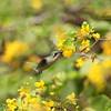 Common or blue-tailed emerald (Chlorostilbon mellisugus), feeding