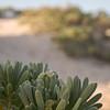 Sea lavender (Argusia gnaphalodes)
