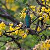 Blue-tailed emerald hummingbird (Chlorostilbon mellisugus) amongst flowers of a brazilwood tree (Haematoxylon brasiletto)
