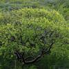 West Indian birch tree (Bursera simaruba)