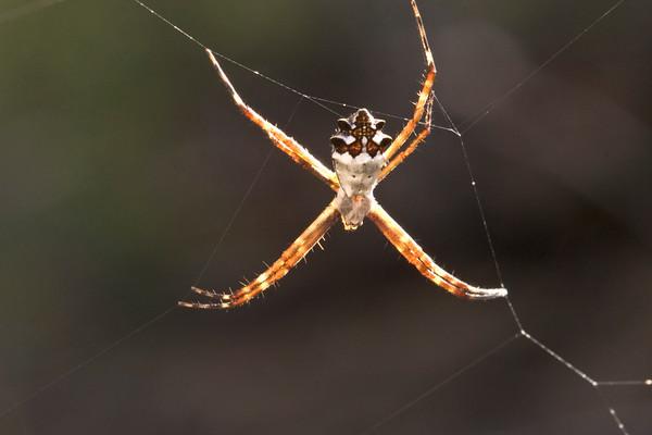Silver argiope spider (Argiope argentata)