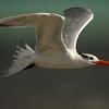 Royal tern (Thalasseus maximus, syn. Sterna maxima)