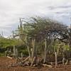 Divi-divi tree (Caesalpinia coriaria) in landscape of candle cactus (Stenocereus griseus)