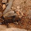 House gecko (Hemidactylus mabouia)
