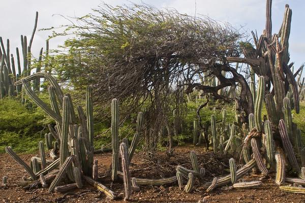 Divi-divi tree (Caesalpinia coriaria) in landscape of candle cactus
