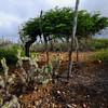 Divi divi (Caesalpinia coriaria)