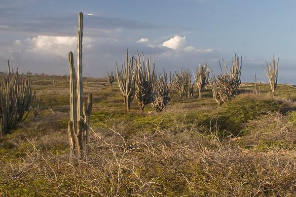 Candle cactus landscape