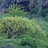 West Indian birch tree (Bursera simaruba) at Roi Sangu