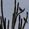 Northern crested caracara (Caracara cheriway) on candle cactus